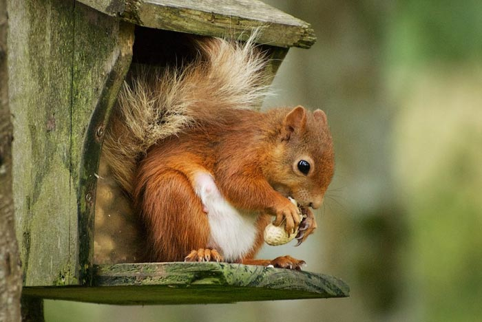 Red squirrels regularly feed on wild bird food at Gratehouse Nursery